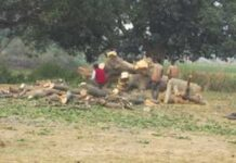 Barabanki: Sheesham's prized tree on the forest department's land disappeared overnight