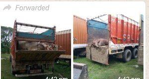 Smuggler with six livestock trucks arrested